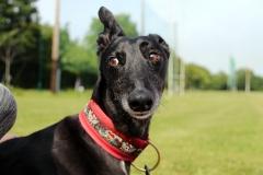 Dazzling Doggies - Part 1 - Skip on 01/07/2021 at Shanganagh Park, Shankill. (C) Alwyn Robinson Photography @tourni_heaven