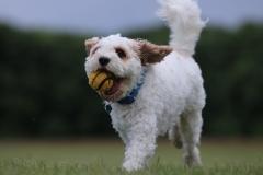 Dazzling Doggies - Part 1 - Ruffle on 04/07/2021 at Shanganagh Park, Shankill. (C) Alwyn Robinson Photography @tourni_heaven