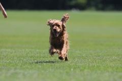Dazzling Doggies - Wiley on 13/07/2021 at Shanganagh Park, Shankill. (C) Alwyn Robinson Photography @tourni_heaven