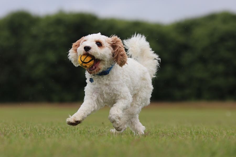 Dazzling Doggies - Rafel on 04/07/2021 at Shanganagh Park, Shankill